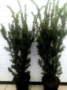 Тис средний Хилли(Taxus x media Hillii)