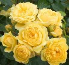 Rosa 'Yellow' Meilove.Штамб